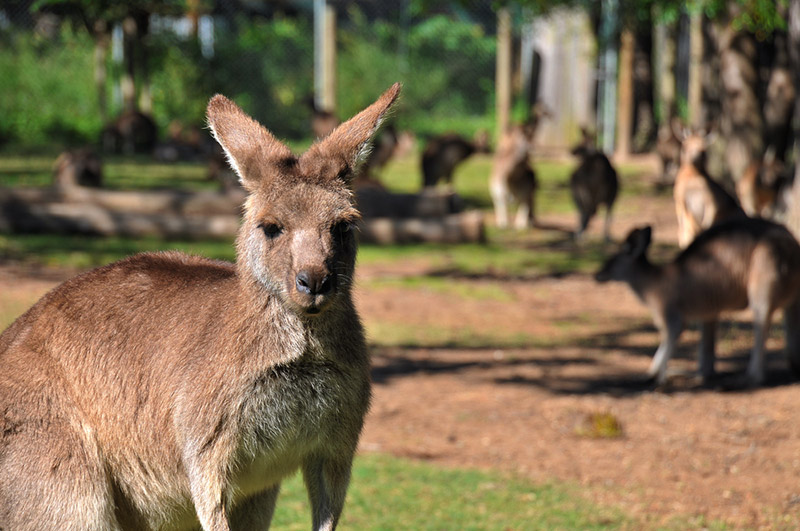 Mustvisit Attractions In And Around Alice Springs A Wanderers - Kangaroo sanctuary alice springs