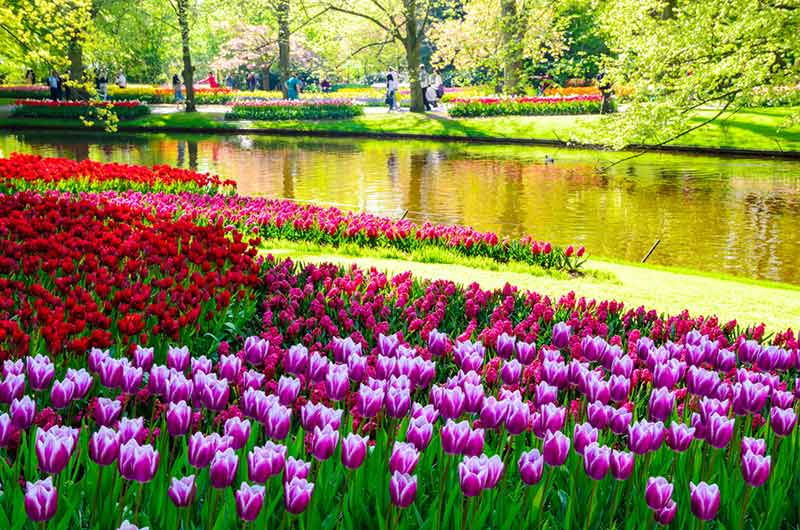 How to Explore Any Travel Destination Like a Local - Tulips in Keukenhof in Amsterdam