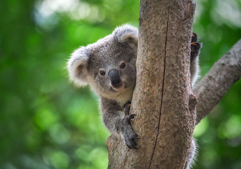 Fun Experiences In and Around Cairns You Probably Didn't Know About - Koala in Kuranda