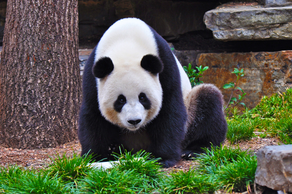 The 10 Attractions to Visit When in Adelaide - Giant Panda in Adelaide Zoo