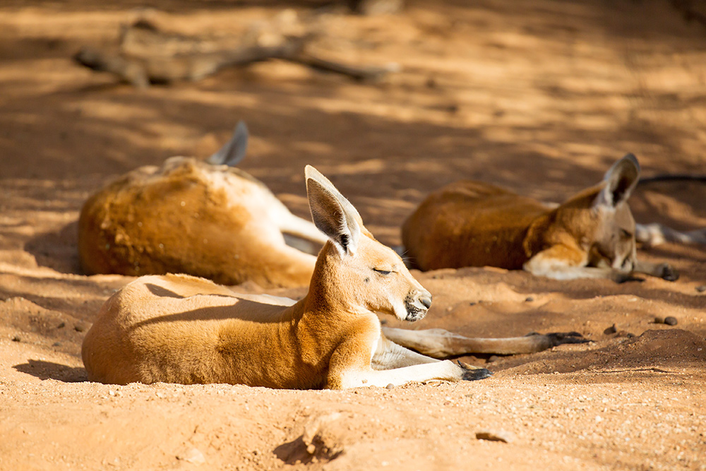 8 Things You Wouldn't Want to Miss When Visiting Alice Springs - Kangaroo Sanctuary