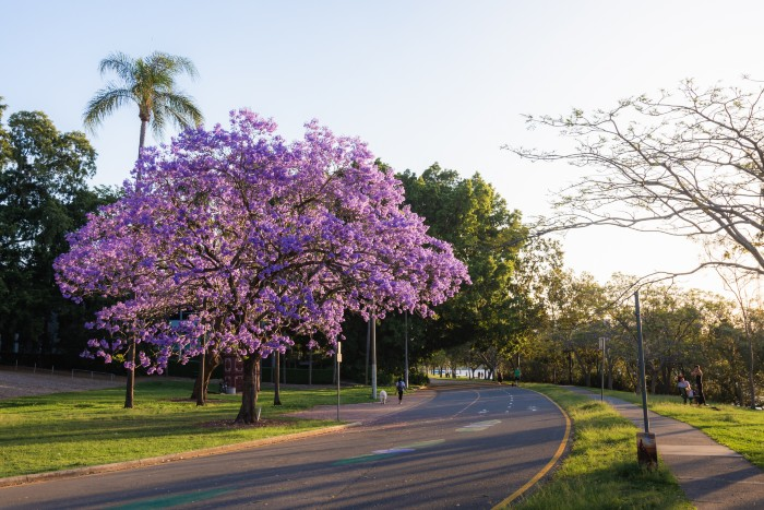 the famous purple trees in Brisbane
