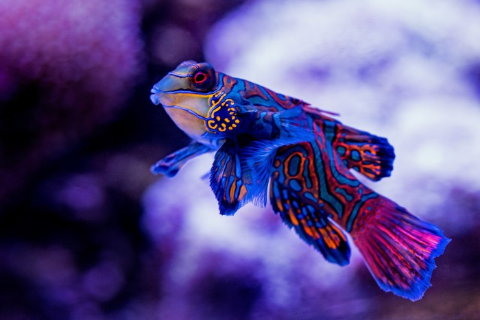 A colourful fish swimming in an aquarium in Cairns