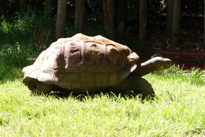 A huge tortoise in the Perth Zoo walking on the grass