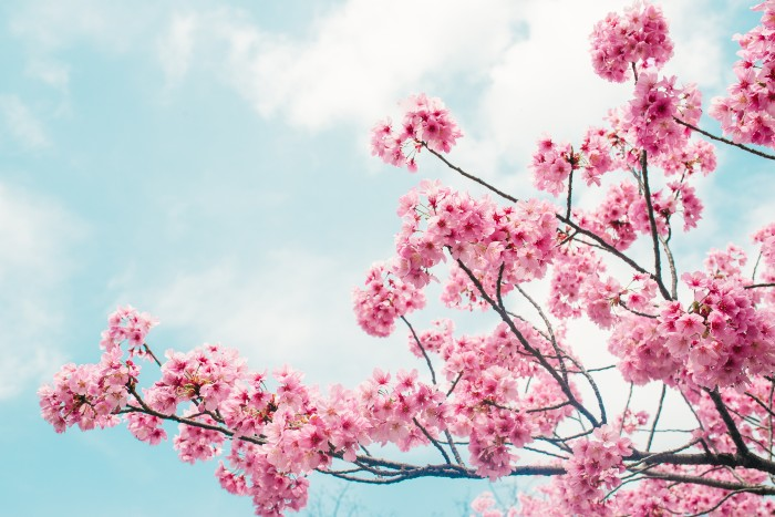 Tokyo: the beautiful cherry blossoms in bloom against the blue skies